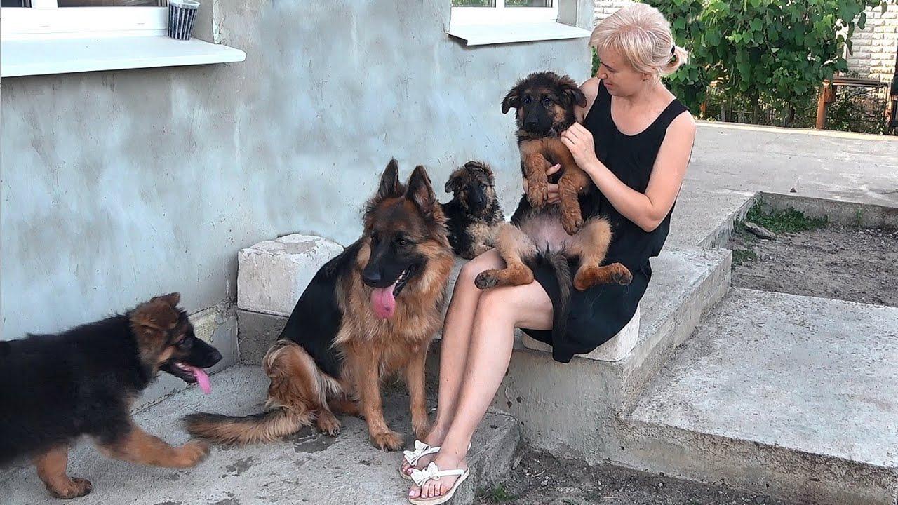 Продаются СУПЕР ЩЕНКИ Длинношерстной Немецкой Овчарки от Дакара и Оливии. 3 месяца Одесса.