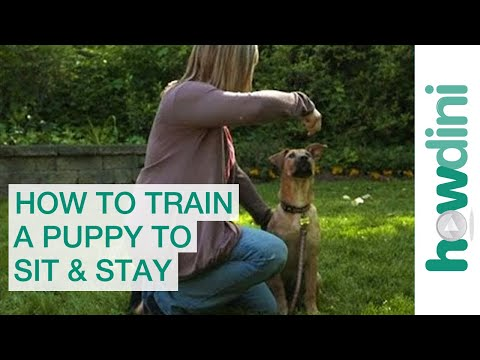 how-to-train-a-puppy-to-sit-and-stay---how-to-train-your-dog