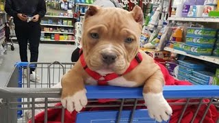 Funniest & Cutest Pitbull Puppies #2 - Funny Puppy Videos 2020
