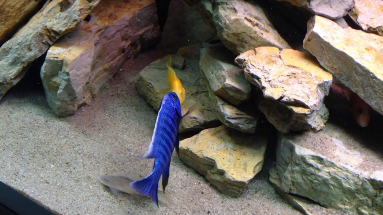 Malawi cichlid fight sciaenochromis fryeri vs yellow for Malawi buntbarsch