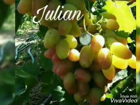bibit-anggur-impor-wa-085733660033-jenis-julian,-dubosky-pink-dll
