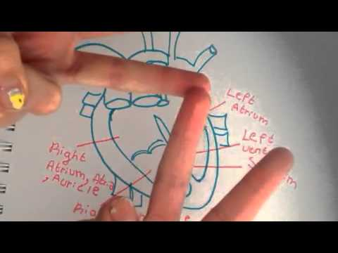 Basic heart anatomy and easy ways to memorize it - YouTube