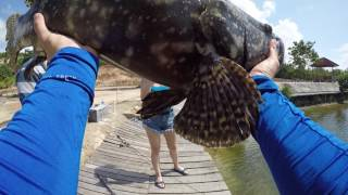 Video Fishing for GROUPERS IN A POND! [Part 1] BATAM BARELANG FISHING download MP3, 3GP, MP4, WEBM, AVI, FLV Agustus 2018