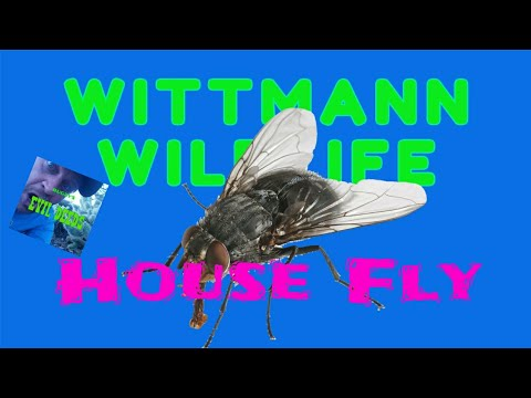 Wittmann Wildlife - House Fly