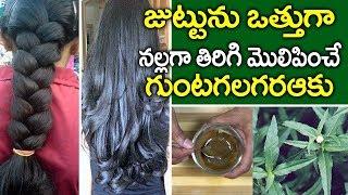 ఈ ఆకును ఇలా వాడితే I Bhringraj Powder for Hair Growth I Guntagalagara Aaku  I Health Tips in Telugu