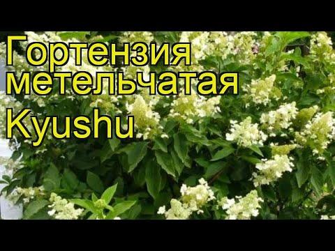 Гортензия метельчатая Киушу. Краткий обзор, описание характеристик hydrangea paniculata Kyushu