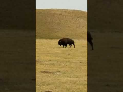 Buffalo.  South Dakota  neidhardt