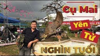 """Bình Quảng Ninh: Siêu Phẩm """" Cụ Mai"""" Yên Tử """" Rất Lâu Năm - Chưa Nhìn Thấy Cây Thứ Hai"""