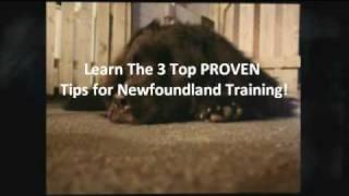 Newfoundland Dog Training - How To Train A Newfoundland