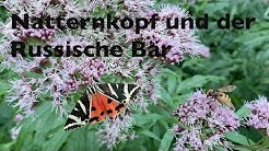 Die TOP Bienen- und Hummelpflanze : Natternkopf und der Russische Bär