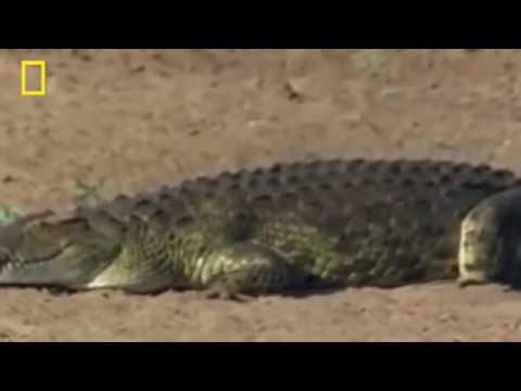 The Best Attacks Of Wild Animals 2017 -  Do - Crocodile vs Baboon