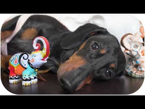 Everyone loves elephants! Funny dachshund dog video!