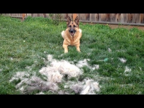 How to Brush your German Shepherd Dog. timelapse