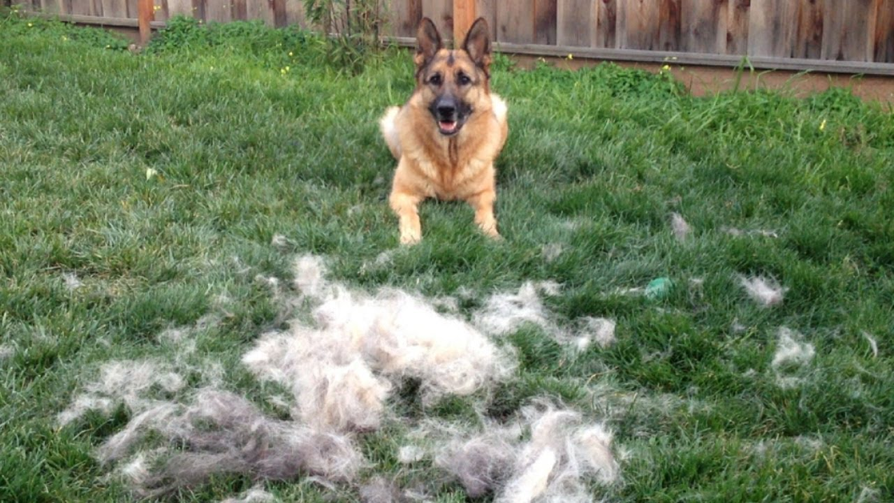 How To Brush Your German Shepherd Dog Timelapse Youtube