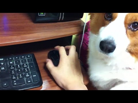 Corgi Stops Owner From Using Computer
