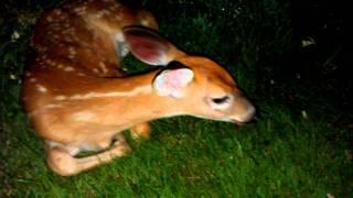 Saving a baby deer