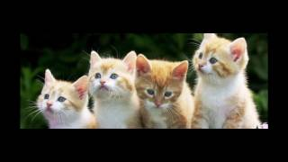 American Wirehair Cat and Kittens | History of the American Wirehair Cat Breed