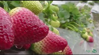 How To Grow Strawberries - Tvagro By Juan Gonzalo Angel