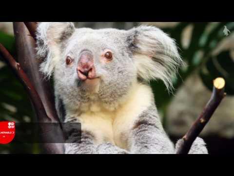 Queensland koalas at RZSS Edinburgh Zoo