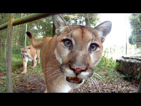 GoPro: Feeding Cougars
