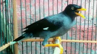 Langsung respon!!! Terapi Burung Jalak Kebo lelet dan males bunyi