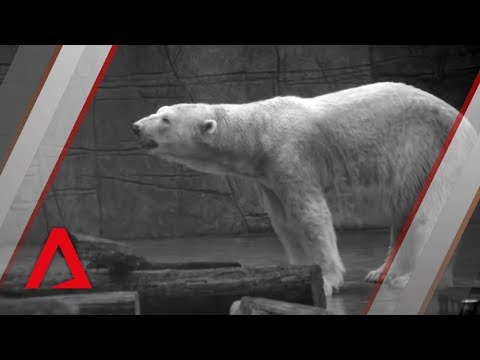 A tribute to Inuka, Singapore's last polar bear