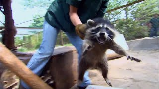 Releasing 20 grumpy raccoons back into the wilderness! | Hope For Wildlife