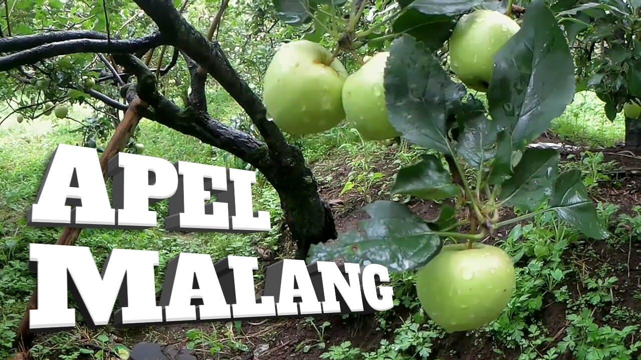 Wisata Petik Apel Malang Explore Batu Malang Agrowisata Youtube