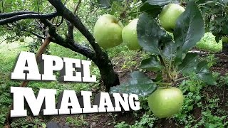 Download Video WISATA PETIK APEL MALANG - Explore Batu Malang | Agrowisata MP3 3GP MP4