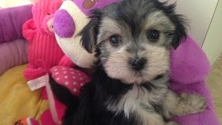 Morkie pups for sale Florida - Micheline's Pups