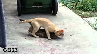 Cat Sex Mating (intercourse) HD