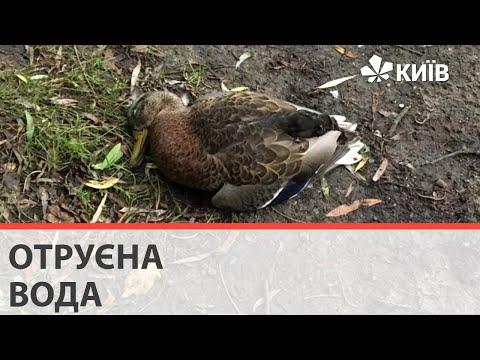 Загибель птахів у Голосіївському парку: експерти підтвердили отруєння хімікатами