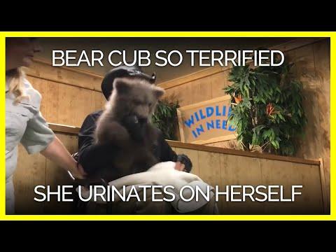Bear Cub Apparently so Terrified, She Urinates on Herself