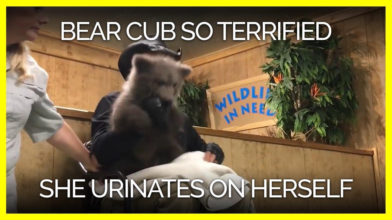 bear-cub-apparently-so-terrified-she-urinates-on-herself