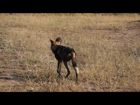 P3295648   Wilde honden South Luangwa NP