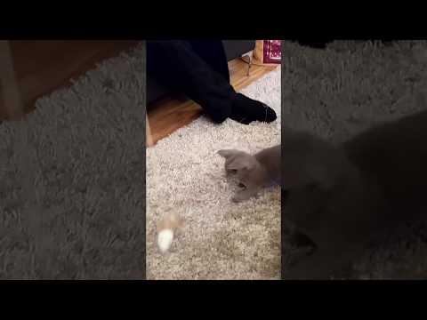 Igor hunts its prey! Russian Blue Kitten / Azul da Rússia caça a sua presa!