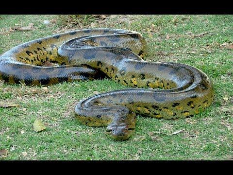 big anaconda in Suriname, Paramaribo