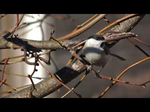 Голос черноголовой гаички Parus Palustris / Marsh Tit Vocalisation