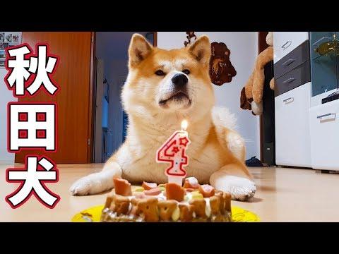 AKITA INU - 4 Years Of Loyalty | Celebrating My Dog's Birthday | 秋田犬