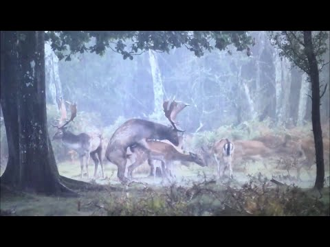 FALLOW BUCK MATES WITH FEMALE 2019
