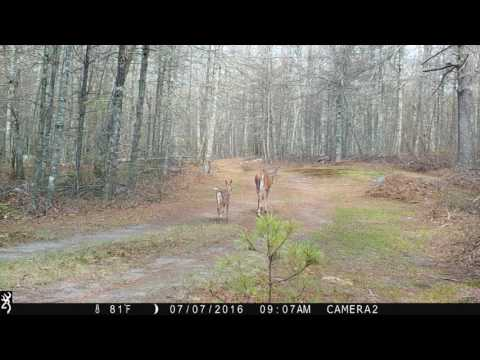 Deer with Fawn and Fisher Cat - Browning Strike Force HD Sub Micro Trail Camera
