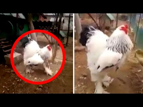 GIANT Chicken Caught on Tape