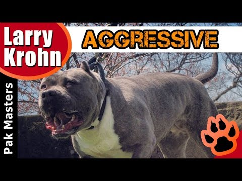 Human Aggressive Pit Bull Mix Rehabilitation / Clicker and E Collar Training