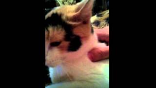 Трехцветная кошка