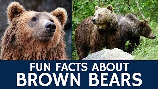 Interesting Brown Bear Facts – Documentary Video for Kids' e-Learning and Education