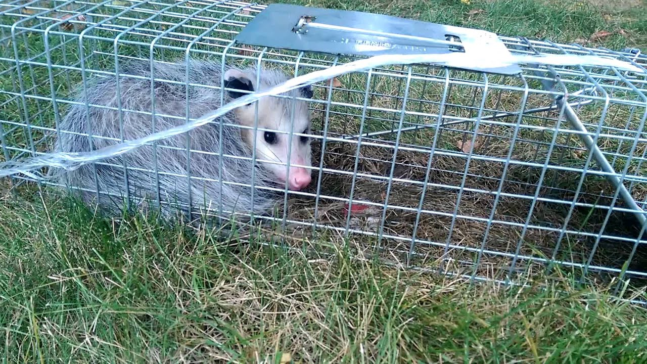 Possum caught in backyard. Will be moved into wilderness ...