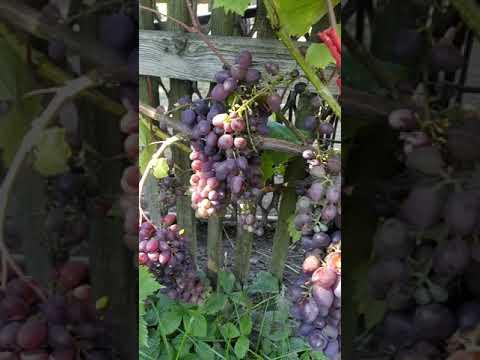 Виноград: сорт КИШ