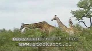 Giraffe in Krugerpark - kameelperd - giraffa camelopardalis