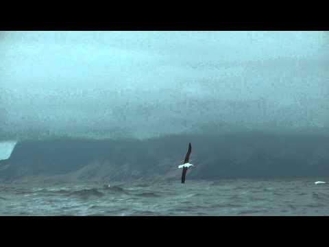 Northern Royal Albatross, November 2014, Alexander Selkirk Island, Juan Fernandez