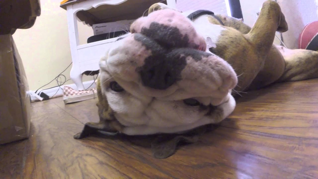English Bulldog Found Unconscious And Dying - I Heart Pets